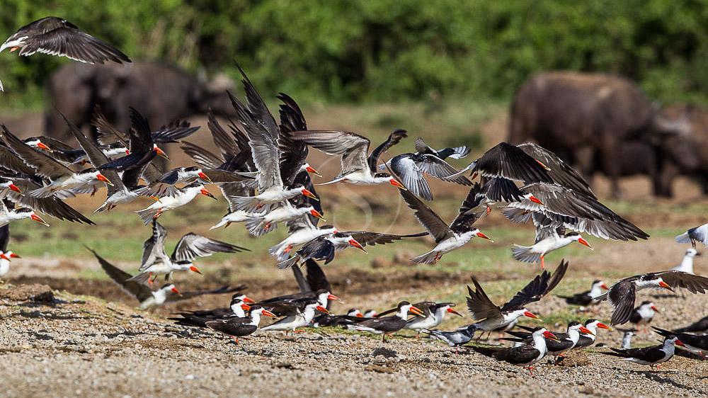 Becs en ciseaux d'Afrique, Ouganda © Christophe Courteau