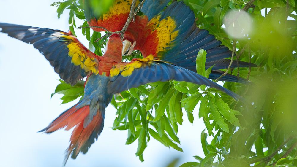 Aras dans le parc de Corcovado, Costa Rica