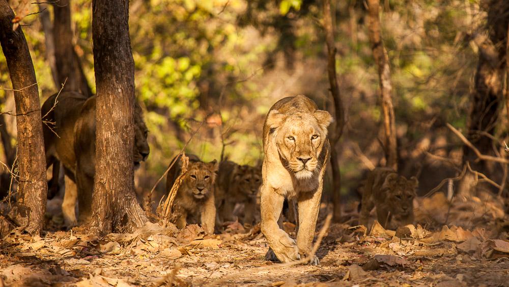 Parc national de Gir, Inde