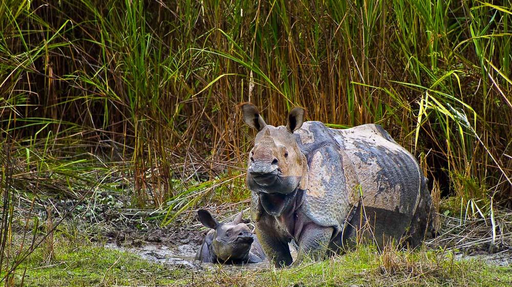 Rhinos à Kaziranga, Inde © Gilles Georget