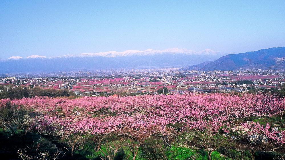 Pêchers en fleur dans les Alpes du Sud, Japon © jnto