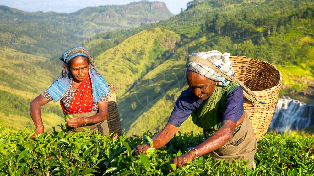 Plantations de thé, Sri Lanka © Shutterstock