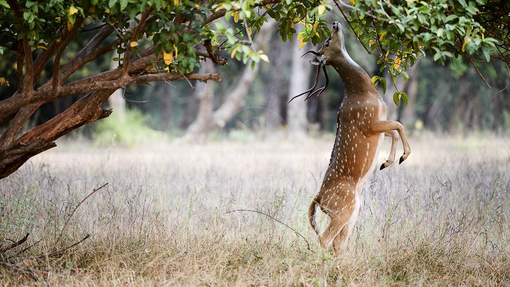 Safari à Ranthambore, Inde