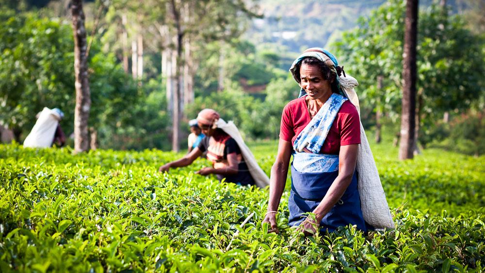 Région de Kandy, Sri Lanka © Shutterstock