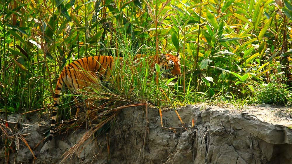 Safari tigre à Kaziranga, Inde © Gilles Georget