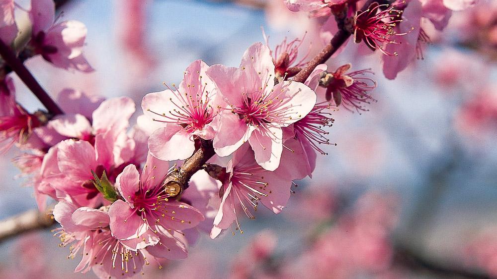 Cerisiers en fleur, Japon © jnto