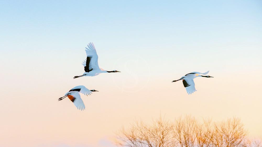 Grues à Hokkaido, Japon © shutterstock