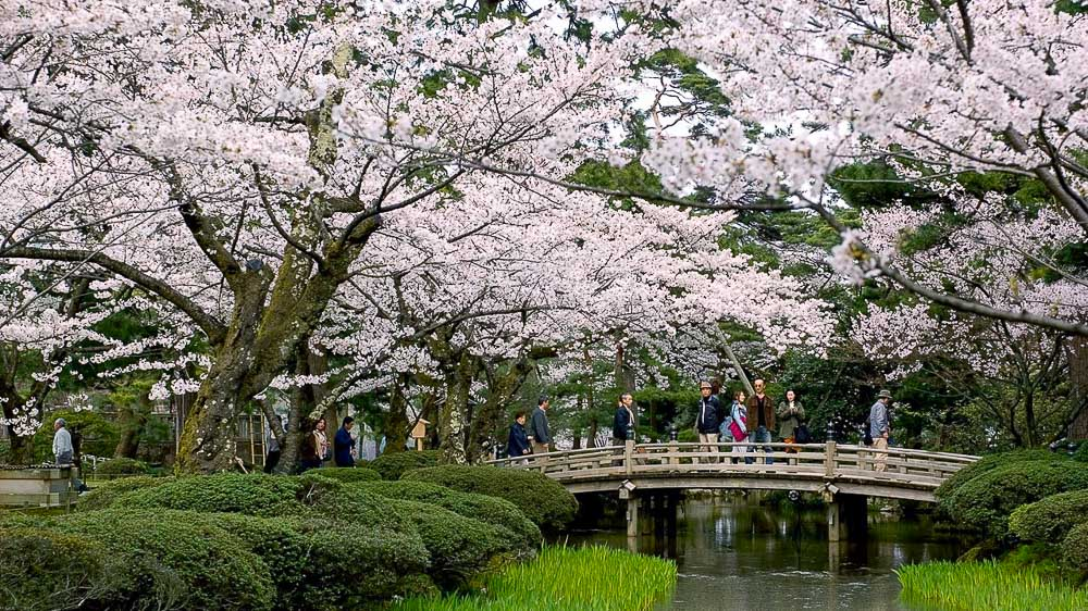 Cerisiers à Kenroku, Japon © jnto