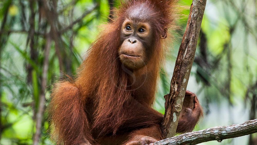 Orang Outan femelle et son jeune