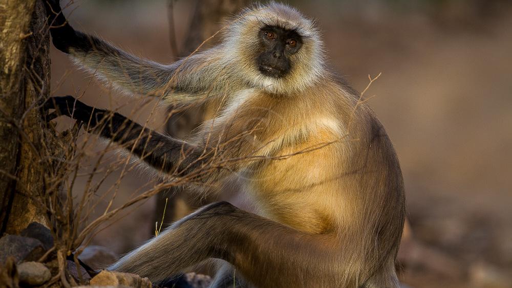 Safaris en Inde © K. Raghunandan