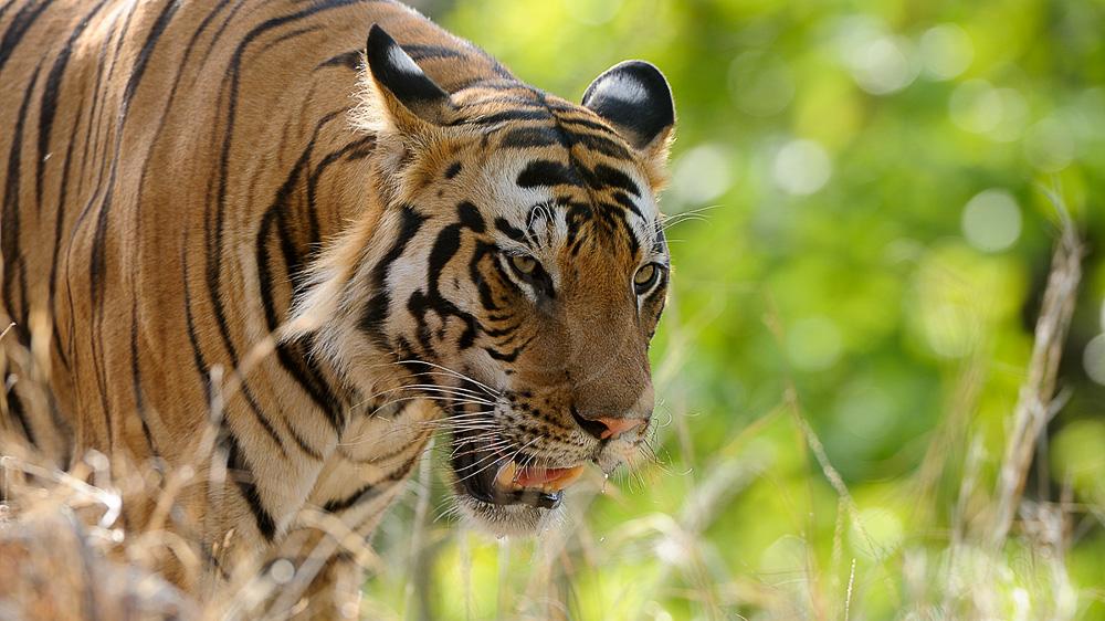 Safari Tigre en Inde © Alain Pons