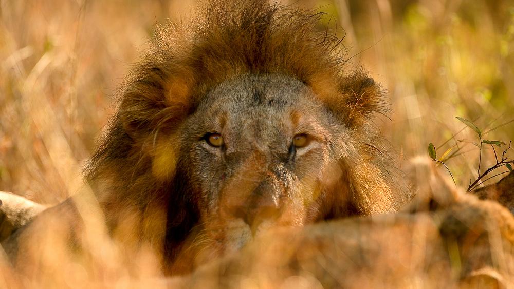 Lions dans le parc Kruger, Afrique du sud