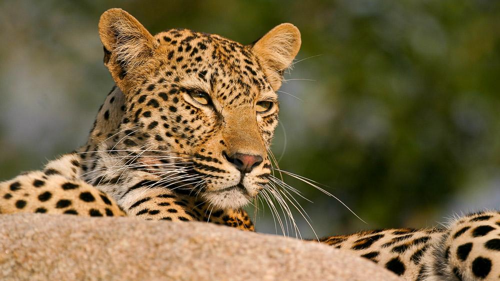 Léopard, Réserve de Sabi Sand, Afrique du sud