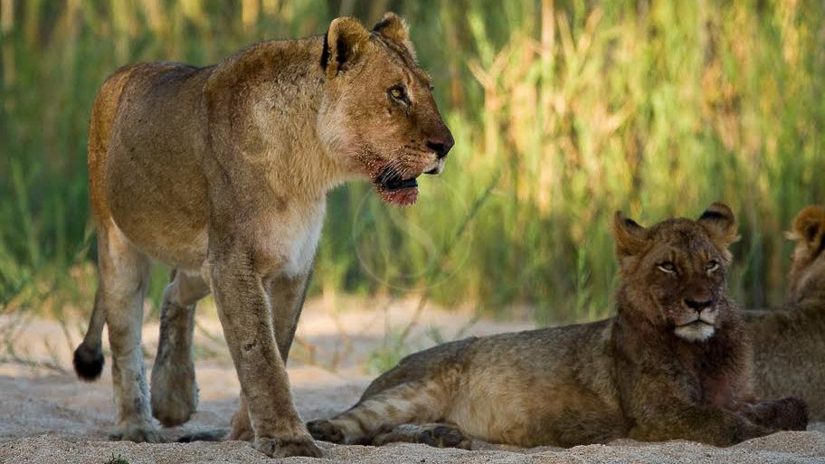 Safari à Sabi Sand, Afrique du Sud © Christophe Courteau