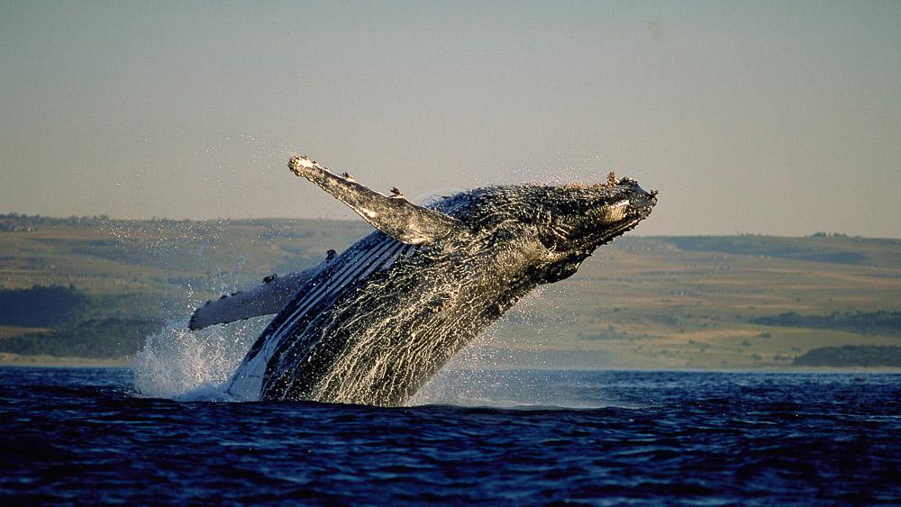 Observation des baleines en Afrique du Sud © Rod Hastier