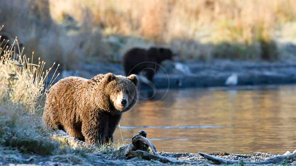 Kodiak Brown Bear Center, Alaska © KBBC