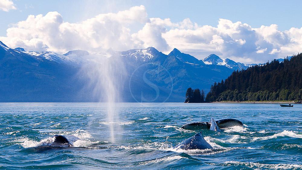 Baleines à bosse, Alaska © OT Alaska