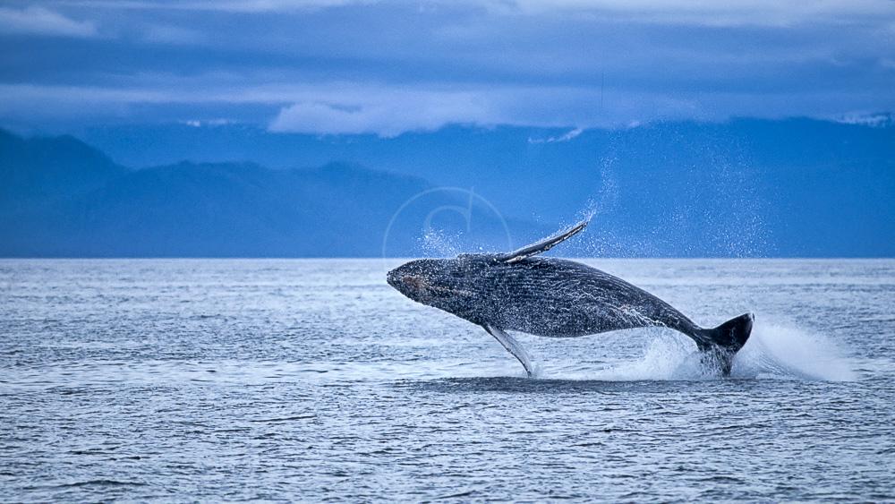 Whale watching en Alaska © Shutterstock