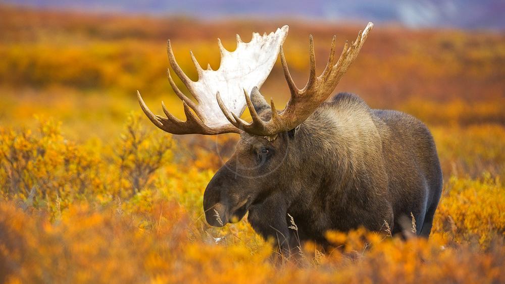 Parc de Denali, Alaska, Etats-Unis © Shutterstock
