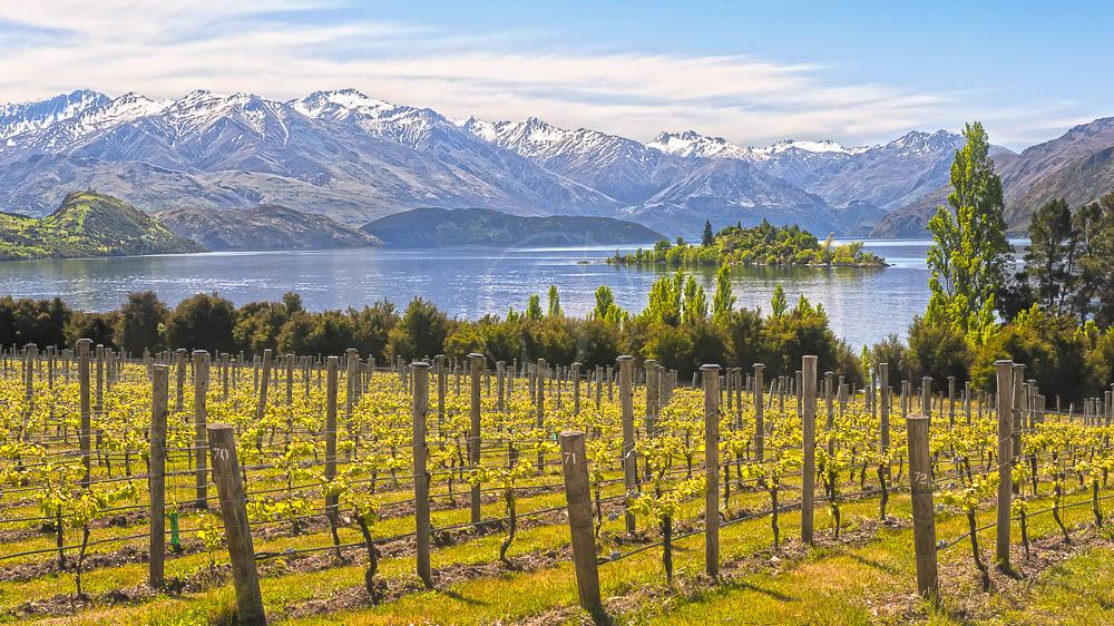 Vignes en Nouvelle Zélande © Shutterstock