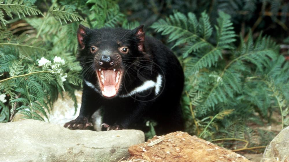 Diable de Tasmanie, Australie © OT Australia
