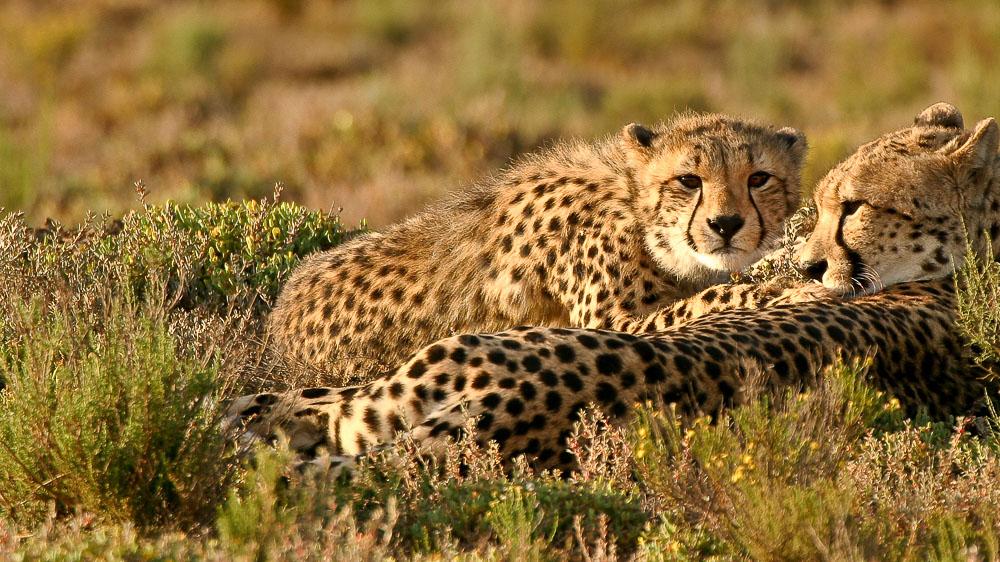 Guépards dans la réserve de Sanbona, Afrique du sud