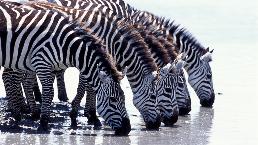 Safari dans le cratère du Ngorongoro, Tanzanie