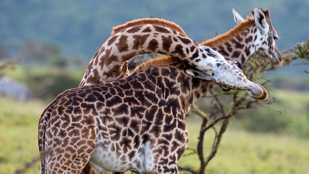 Safari vers Olduvia, Tanzanie