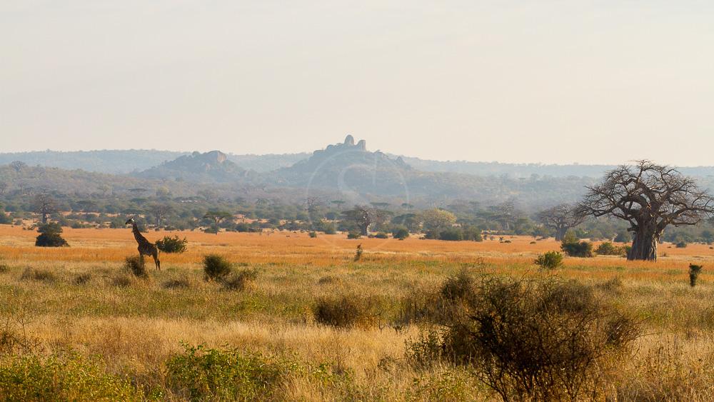 Safari à Ruaha, Tanzanie