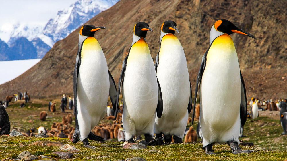 Géorgie du Sud, Antarctique © Shutterstock