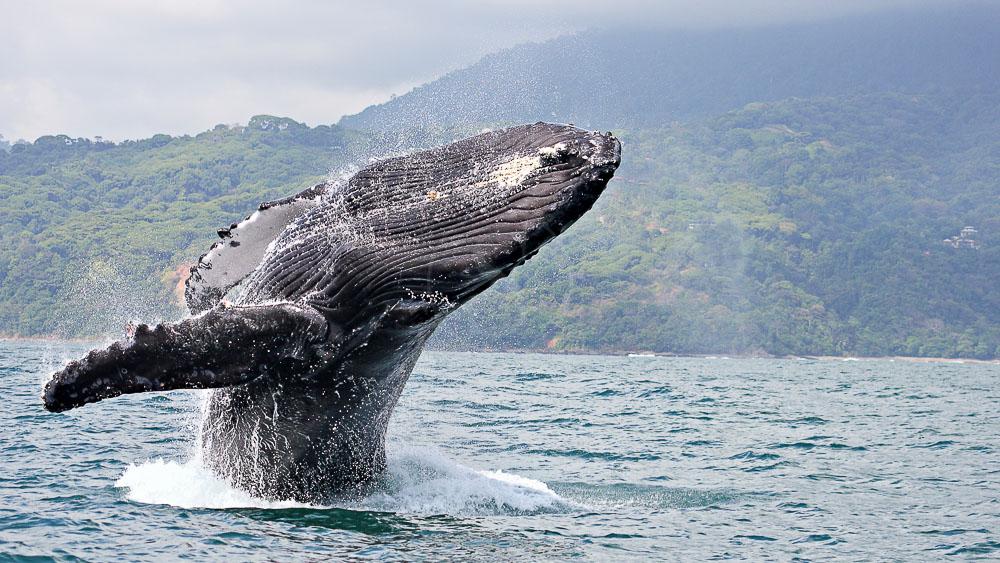 Baleine à bosse vers la Péninsule d'Osa, Costa Rica