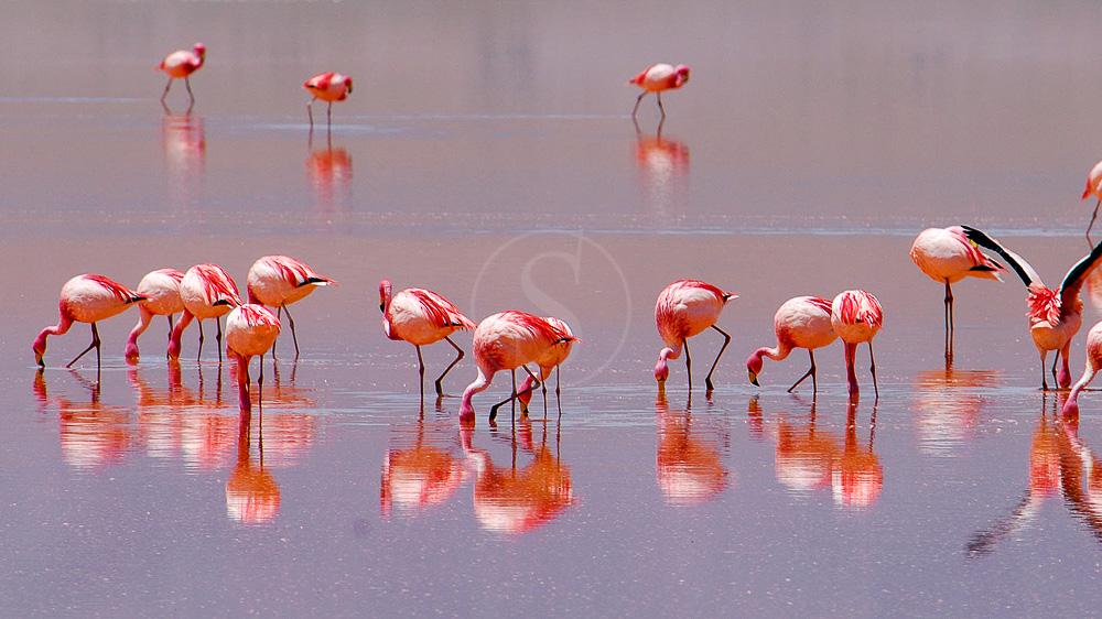 Laguna Colorada, Bolivie © Alain Pons