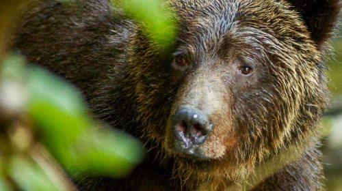 Ours au Great Bear Lodge lors d'un voyage sur mesure au Canada, par Etendues Sauvages