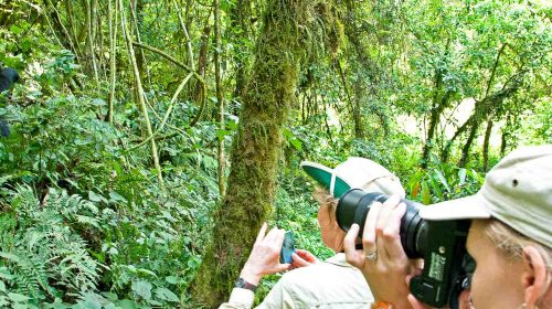 Gorilles des montagnes au Gorilla Forest Camp, en Ouganda avec Etendues Sauvages