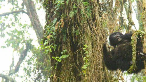 Gorille dans le parc des Volcans au Rwanda, par Etendues Sauvages