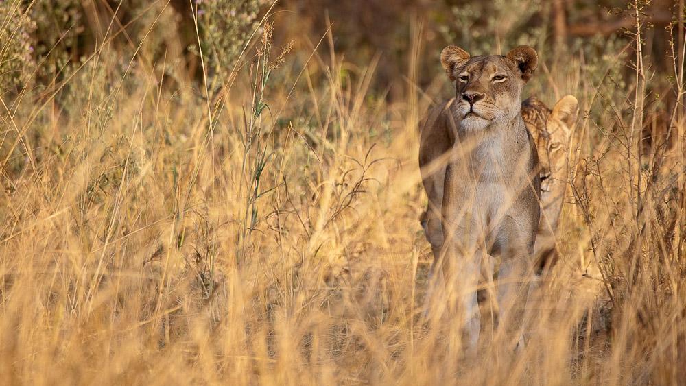 Lionnes dans le parc de South Luwangwa, Zambie