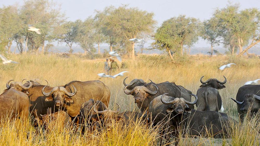 Safaris à Potato Bush Camp, Zambie © Potato Bush Camp