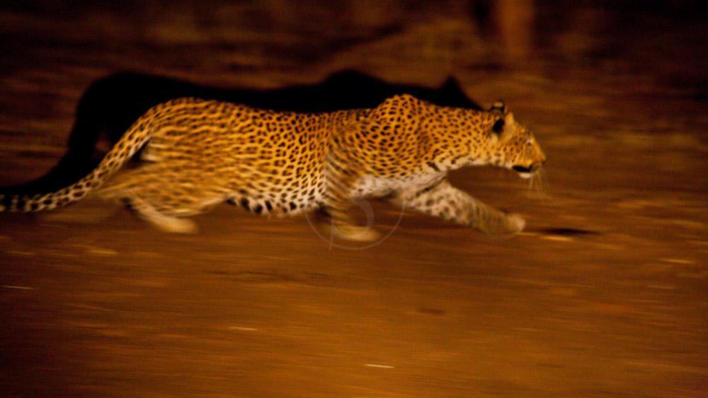 Léopard lors d'un safari de nuit, Zambie