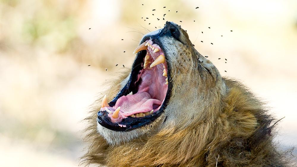 Safari au Botswana © Laurent Guillot