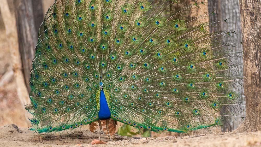 Safari en Inde © Varun Mathur