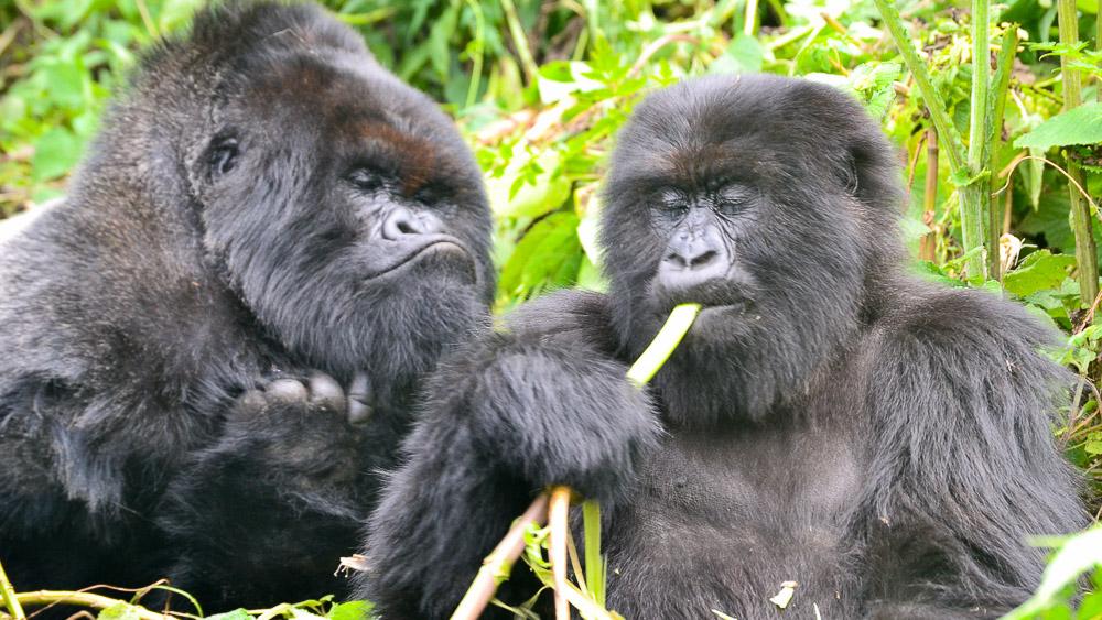 Gorille du Rwanda © Cyrille C.