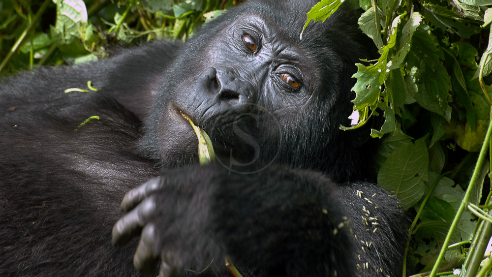 Gorilla Forest Camp, Ouganda © Sanctuary Camps