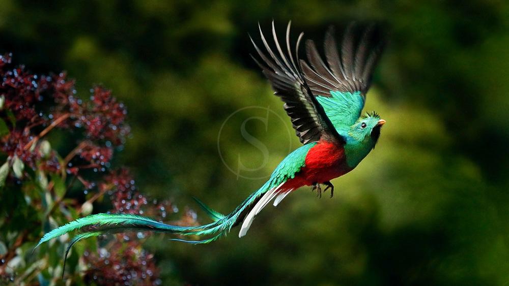 Quetzal à Monteverde, Costa Rica