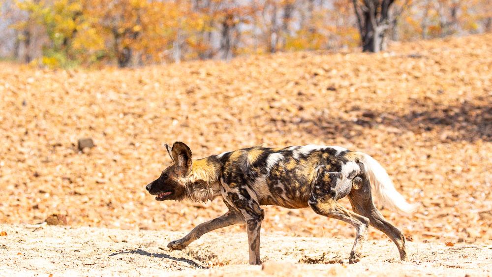 Sapi Mana Pools, Zimbabwe © Etendues Sauvages