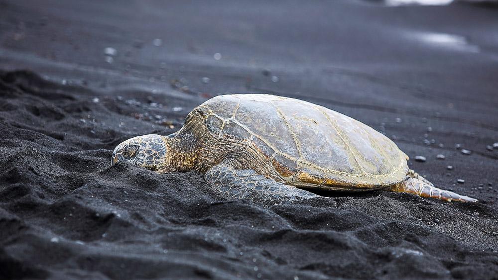 plage de Punalu'u, Hawai © Shutterstock