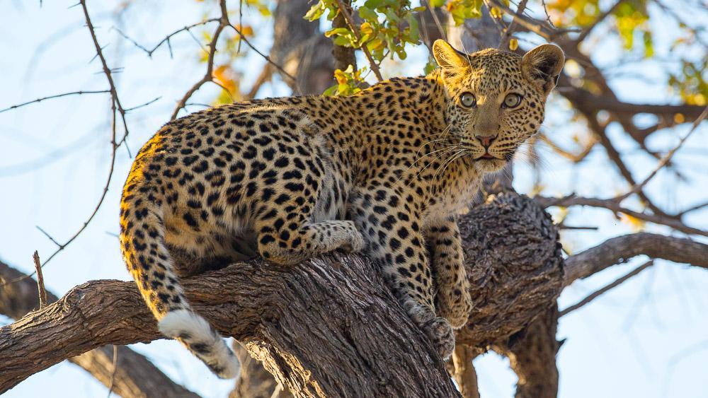 Safari dans le Delta de l'Okavango © L. Guillot