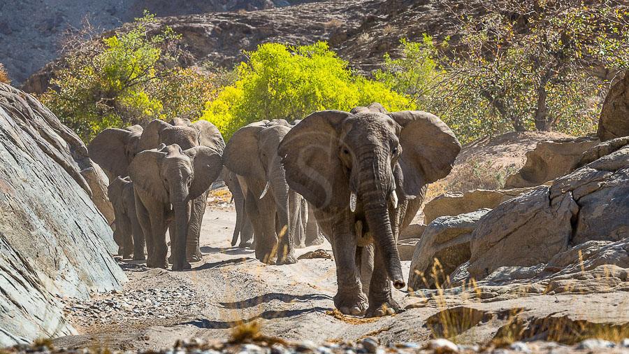 Eléphants du désert, Namibie © Christophe Courteau
