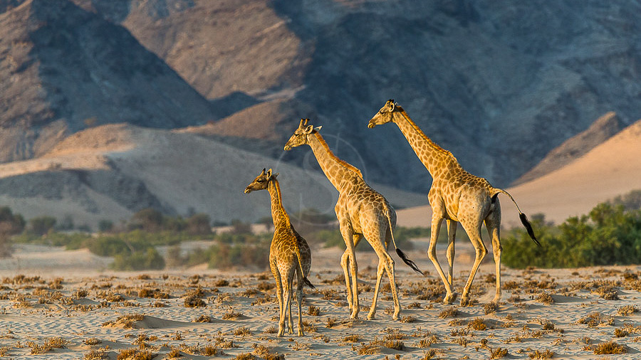 Girafes dans le Namib, Namibie © Christophe Courteau