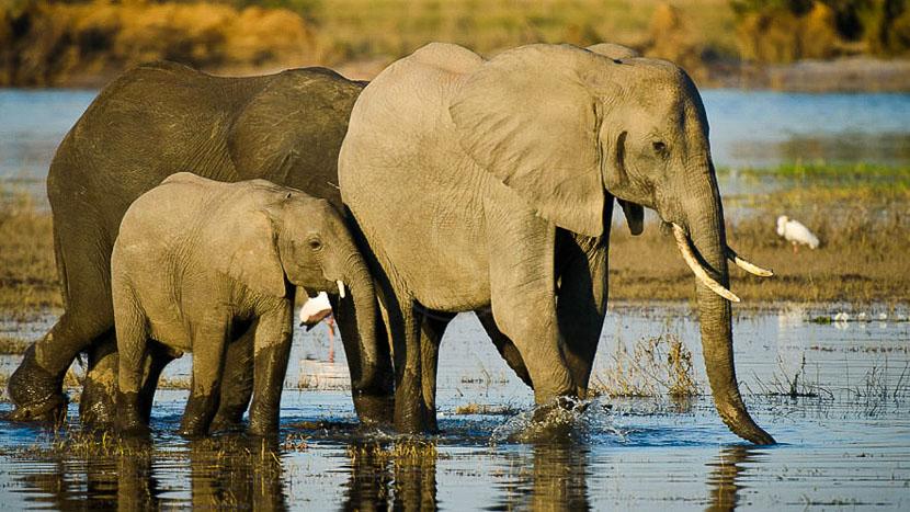 Safari sur la rivière Chobe, Botswana