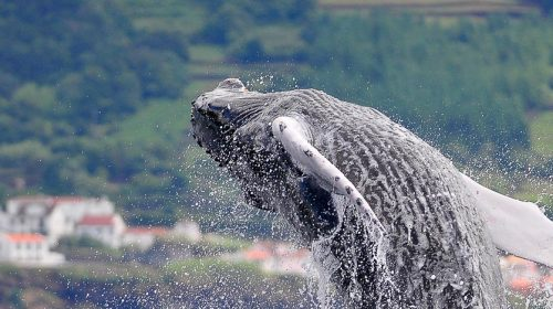 Voyage aux Açores pour voir les baleines